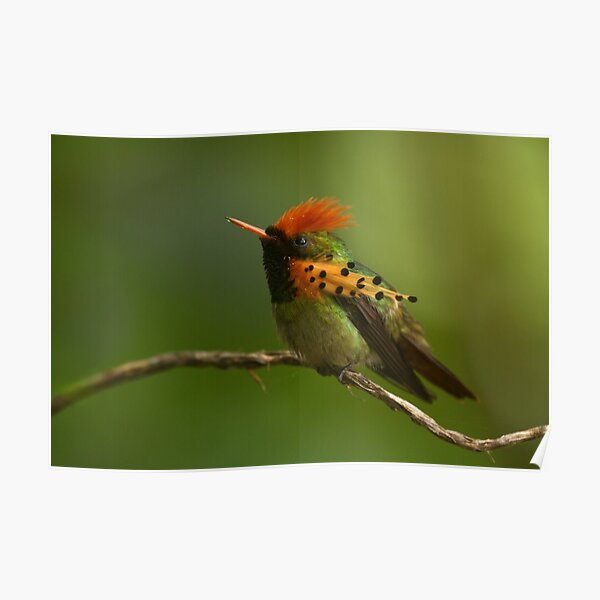 Tufted Coquette Poster