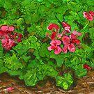 October Geraniums by bernzweig