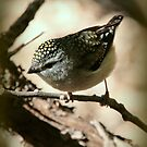 Little beauty - female spotted pardalote by Denzil