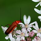Anyone know the name of this red insect? by Photos - Pauline Wherrell