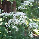Fall Chive Blossoms by ninthcircle