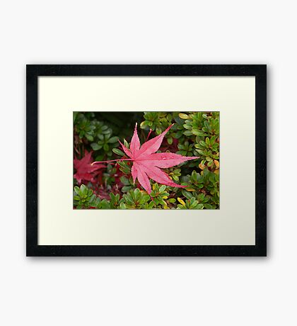 Japanese Maple Leaf Framed Print
