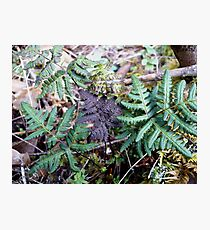 Purpley Fern Photographic Print