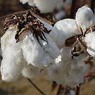 Tennessee Cotton by Denise Sparks
