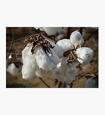 Tennessee Cotton Photographic Print