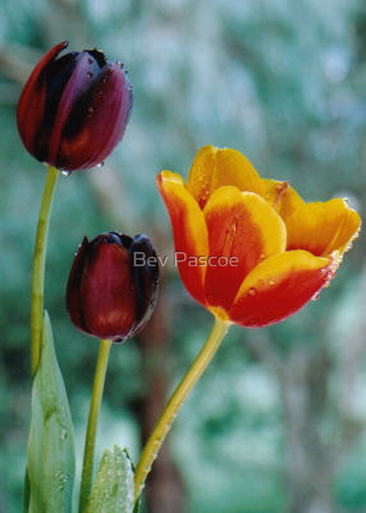Tulips of Contrast by Bev Pascoe