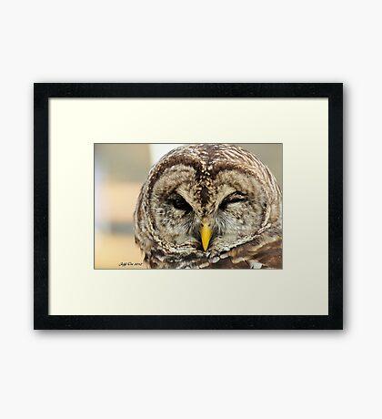 Barred Owl ( Strix varia ) Framed Print