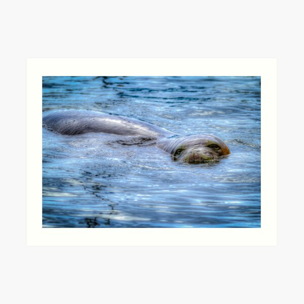 Hawaiian Monk Seal Art Print