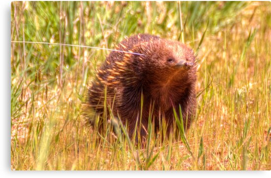 Please Wait I am coming  Echidna aka Spiny Ant Eater by Kym Bradley