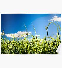 Summer Corn Poster