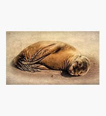 Baby Seal Photographic Print