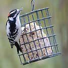 Downy woodpecker by Penny Fawver