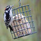 Downy woodpecker by Penny Rinker