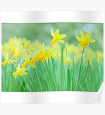 Daffodils.. Poster