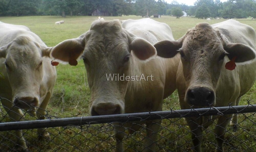 Mootown Presents! THE SUPREMES...(bovine version) by WildestArt