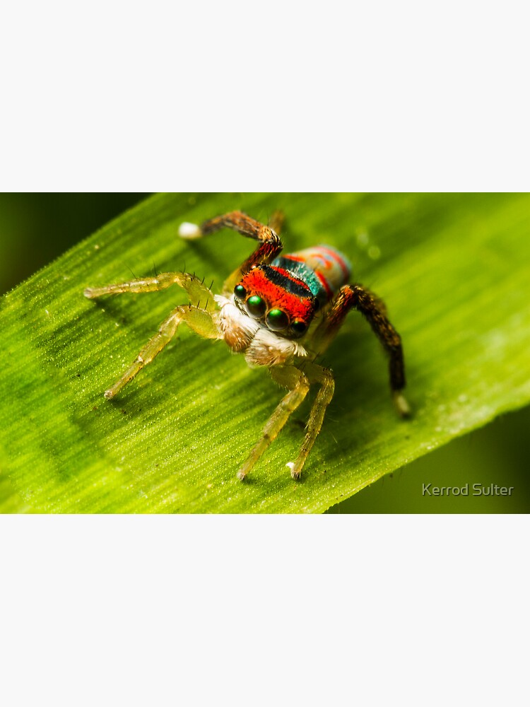 Juvenile Peacock Jumping Spider by kez290