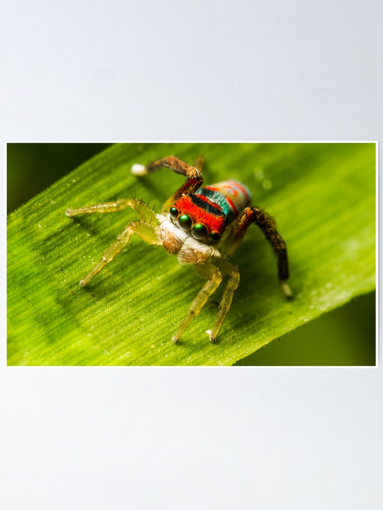 Alternate view of Juvenile Peacock Jumping Spider Poster