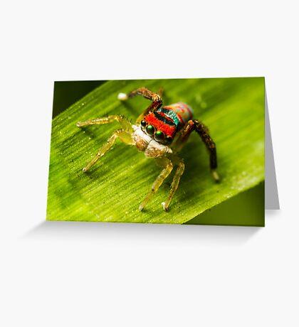 Juvenile Peacock Jumping Spider Greeting Card