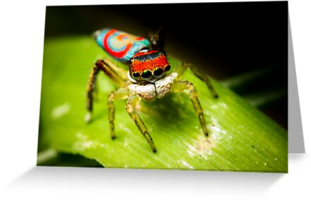 Juvenile Peacock Jumping Spider #2 by Kerrod Sulter