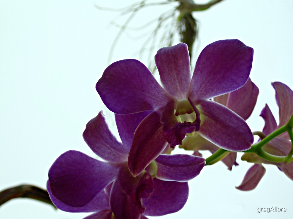 Orchid #27 by gregAllore