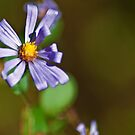Aster by Phillip M. Burrow