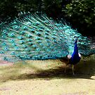 Proud as a Peacock by Mishka Gora