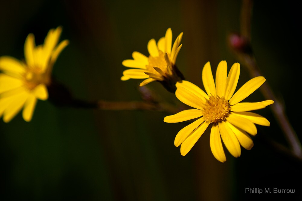 Rosin Weed by Phillip M. Burrow