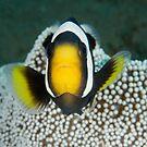 Saddleback Anemonefish - Amphiprion polymnus by Andrew Trevor-Jones