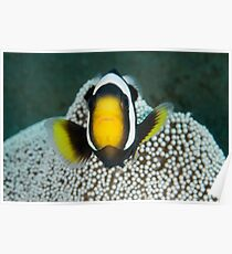 Saddleback Anemonefish - Amphiprion polymnus Poster