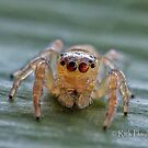 The Jumping Spider by Rick Playle