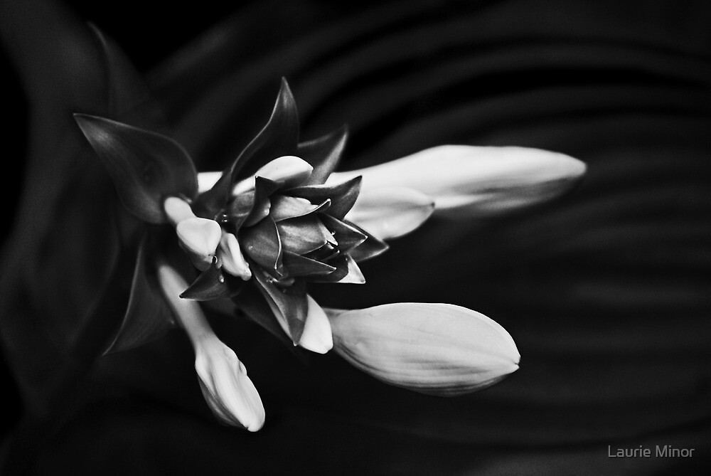 Hosta Buds by Laurie Minor