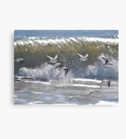 Piping Plovers in Flight Canvas Print