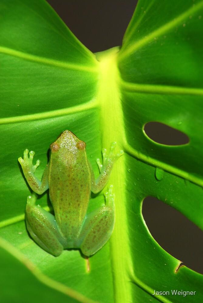 Greater Hatchet Faced Treefrog (Sphaenorhynchus lacteus)  by Jason Weigner
