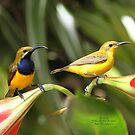 A Pair Of Sunbirds by robmac