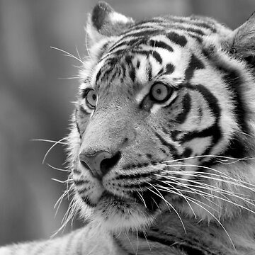 Tiger by FineArtPhoto