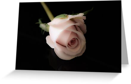 wax rose on black background by Nicole W.