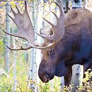 Sad Ending For A Stunning Bull Moose by A.M. Ruttle