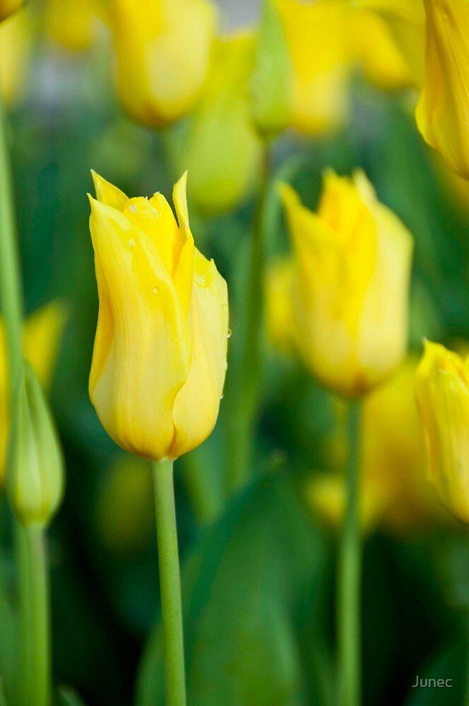 Yellow tulips by Junec