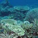 Coral Community at Pulau Wofo I by Reef Ecoimages