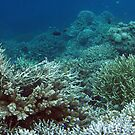 Coral Community at Pulau Wofo II by Reef Ecoimages