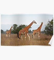 Rothschild's Giraffes, Lake nakuru, Kenya Poster
