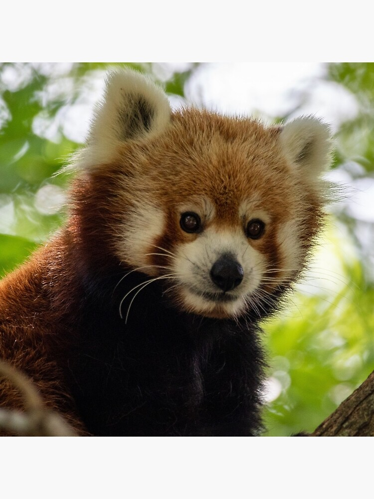 Close up photo of cute red panda sitting on branch in tree by ethan-nguyen