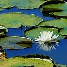 Water Lily by Robin Black
