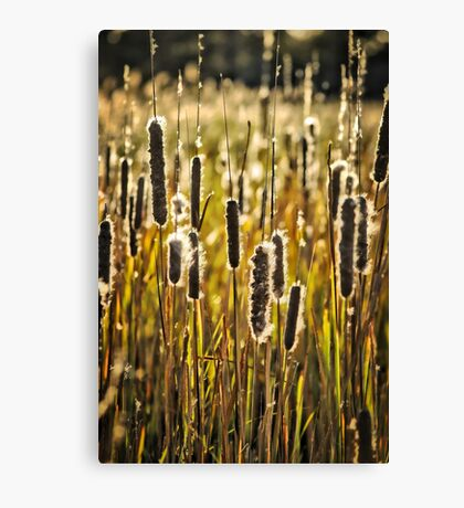 Outer Banks Cattails Canvas Print