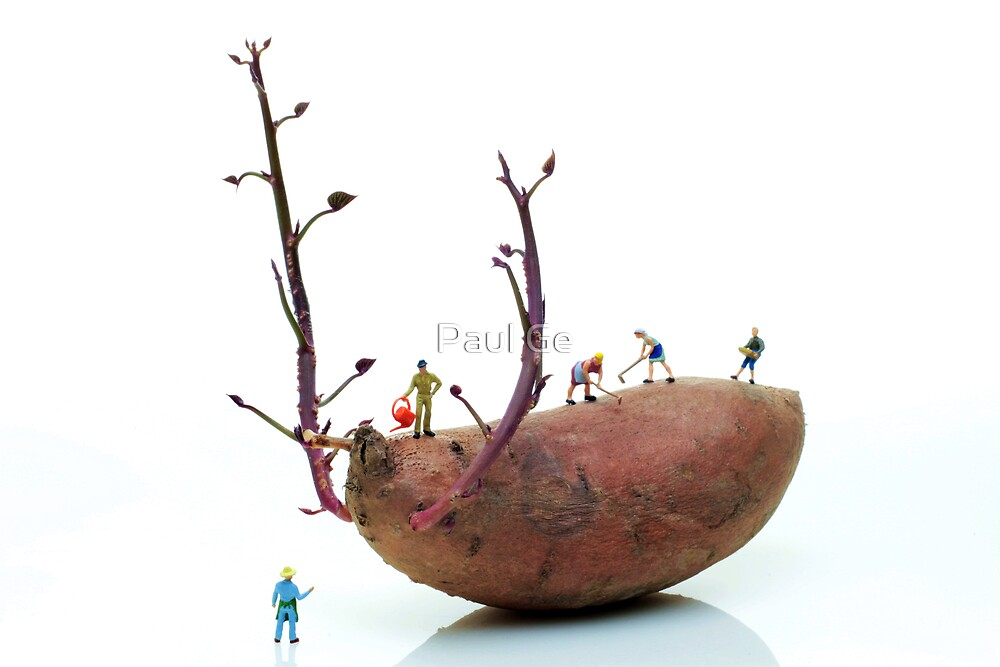 Cultivation on a sweet potato by Paul Ge