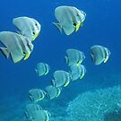 Platax at Pulau Pulau Wofo by Reef Ecoimages
