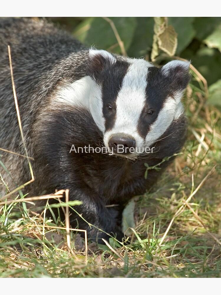 Being a badger by dailyanimals