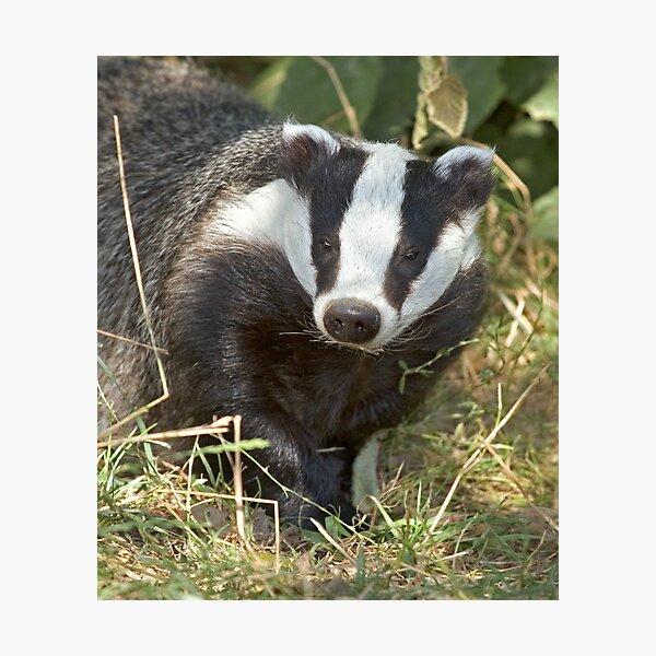 Being a badger Photographic Print