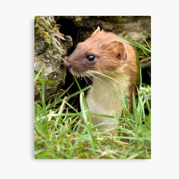 Surprise stoat Canvas Print