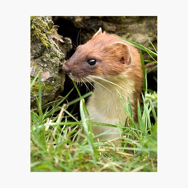 Surprise stoat Photographic Print